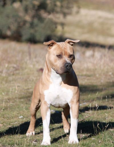 Z Force American Staffordshire Terrier Sire  MBISS Zforce Bigtime