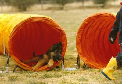 German Shepherd Dogs - Kazkiri GSDs