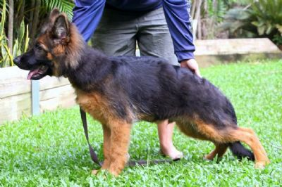 German Shepherd Dogs - Kazkiri Holy Smoke