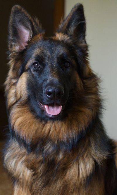 German Shepherd Dogs - Kazkiri Portobello Belle
