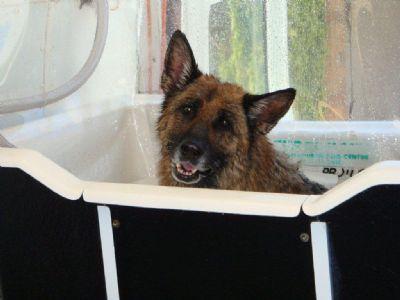 German Shepherd Dogs - Kazkiri GSDs