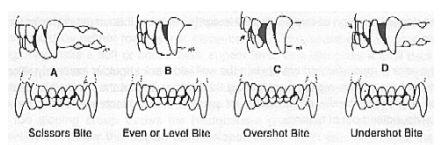 Miniature pinscher teeth