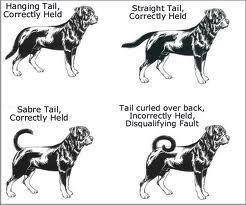 rottweiler growth chart: Paratus rottweiler kennels