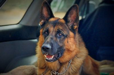German Shepherd Dogs - Kazkiri Vykin
