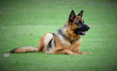 German Shepherd Dogs - Kazkiri Vasur