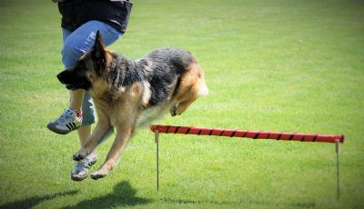 German Shepherd Dogs -  Kazkiri Janti